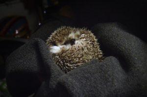 A sleeping hedgehog curled in a blanket.